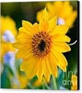 Wild Sunflower Canvas Print by Chris Heitstuman