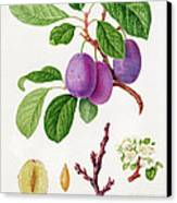 Wilmot's Early Violet Plum Canvas Print by William Hooker