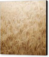 Winsome Wheat Canvas Print by Amy Tyler