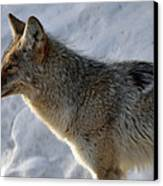 Winter Coyote In Yellowstone Canvas Print