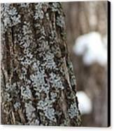 Winter Lichen Canvas Print by Elizabeth Sullivan