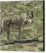 Wolf Canvas Print by Tom Wilbert
