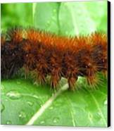 Wooly Bear  Canvas Print by Joshua Bales