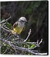 Yellow Breasted Kingbird Canvas Print by Stefon Marc Brown