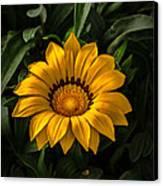 Yellow Gazania Canvas Print