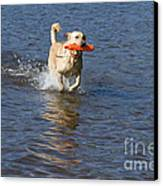 Yellow Lab Retrieving Toy Canvas Print by Linda Freshwaters Arndt