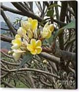 Yellow Plumeria  Canvas Print by Mindy Sue Werth