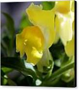 Yellow Snapdragons I Canvas Print by Aya Murrells