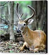 Young Buck At Rest Canvas Print