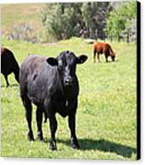 Young Bull Along The Rolling Hills Landscape Of The Black Diamond Mines In Antioch Calif 5d22352 Canvas Print by Wingsdomain Art and Photography