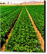 Young Lettuce Canvas Print by Robert Bales