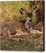 Young Mule Deer Canvas Print
