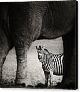 Zebra Barking Canvas Print
