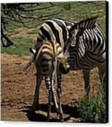 Zebra Mother And Foal Canvas Print by Graham Palmer