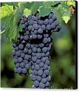 Zinfandel Wine Grape Clusters Canvas Print