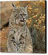 A Bobcat Canvas Print