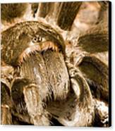 A Tarantula Living In Mangrove Forest Canvas Print by Tim Laman
