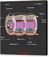 Annelid Worm Anatomy Canvas Print by Francis Leroy, Biocosmos