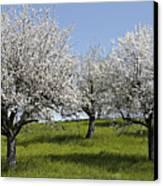 Apple Trees In Full Bloom Canvas Print