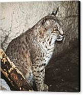 Bobcat Canvas Print by DiDi Higginbotham