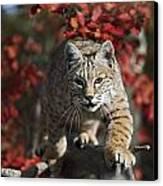 Bobcat Felis Rufus Walks Along Branch Canvas Print by David Ponton