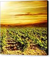 Bright Sunset At Vineyard Canvas Print by Anna Om