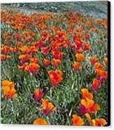 Californian Poppies (eschscholzia) Canvas Print by Bob Gibbons