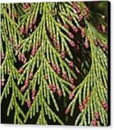 Chamecyparis Lawsoniana Canvas Print
