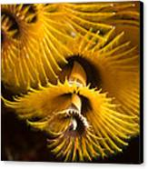 Christmas Tree Worms On The Ocean Floor Canvas Print by Tim Laman