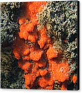 Close-up Of Live Sponge Canvas Print by Ted Kinsman