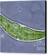 Closterium Sp. Algae Lm Canvas Print by M. I. Walker