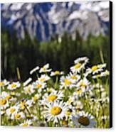 Daisies At Mount Robson Provincial Park Canvas Print