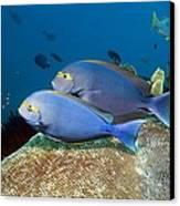 Elongate Surgeonfish Canvas Print