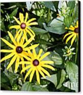 Flower Rudbeckia Fulgida In Full Canvas Print by Ted Kinsman