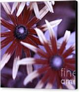 Flower Rudbeckia Fulgida In Uv Light Canvas Print by Ted Kinsman