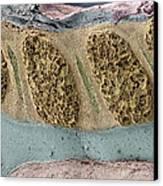 Foetal Spinal Column Canvas Print