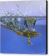 Frog Jumps Into Water Canvas Print by Ted Kinsman