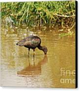Glossy Ibis  Canvas Print
