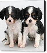 King Charles Spaniel Puppies Canvas Print by Jane Burton