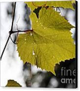 Leaves Of Wine Grape Canvas Print