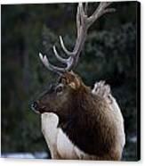 Male Elk Cervus Canadensis Canvas Print by Richard Wear
