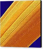 Marine Diatom Alga, Sem Canvas Print