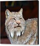 North American Lynx Canvas Print by Paul Fell