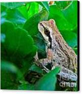 Pacific Tree Frog Canvas Print