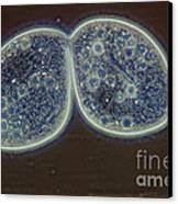 Paramecium Canvas Print by M. I. Walker