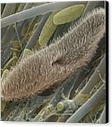 Paramecium Sp. Protozoan, Sem Canvas Print by Power And Syred
