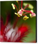 Passiflora Flower Canvas Print