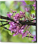 Pink Flowers Of The Love Tree Canvas Print by Frank Tschakert