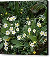 Primroses (primula Vulgaris) Canvas Print by Dr Keith Wheeler