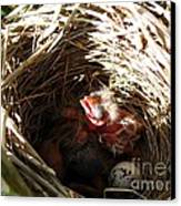 Red-winged Blackbird Babies And Egg Canvas Print